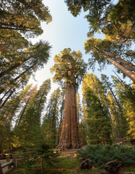The General Sherman Tree