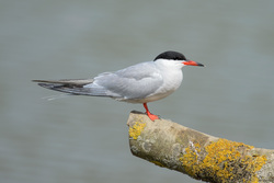 Common Tern On A Stick