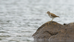 Common Sandpiper In Song