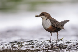 Yorkshire Dipper