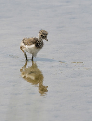 Little Lapwing